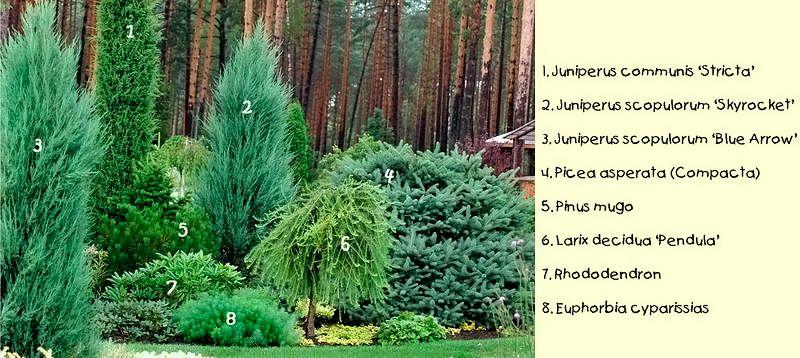 какие хвойные растения лучше посадить